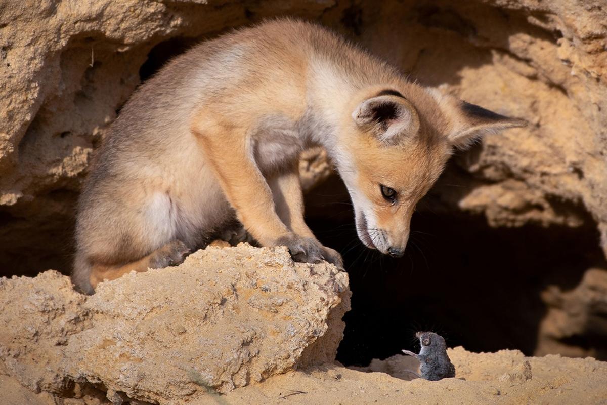 """Bức ảnh """"Cuộc đàm phán khó khăn"""" của nhiếp ảnh gia Ayala Fishaimer chụp tại Judean Foothills, Israel cho thấy một chú cáo đỏ Arab dường như đang lắng nghe lời thỉnh cầu xin tha mạng của một chú chuột chù."""