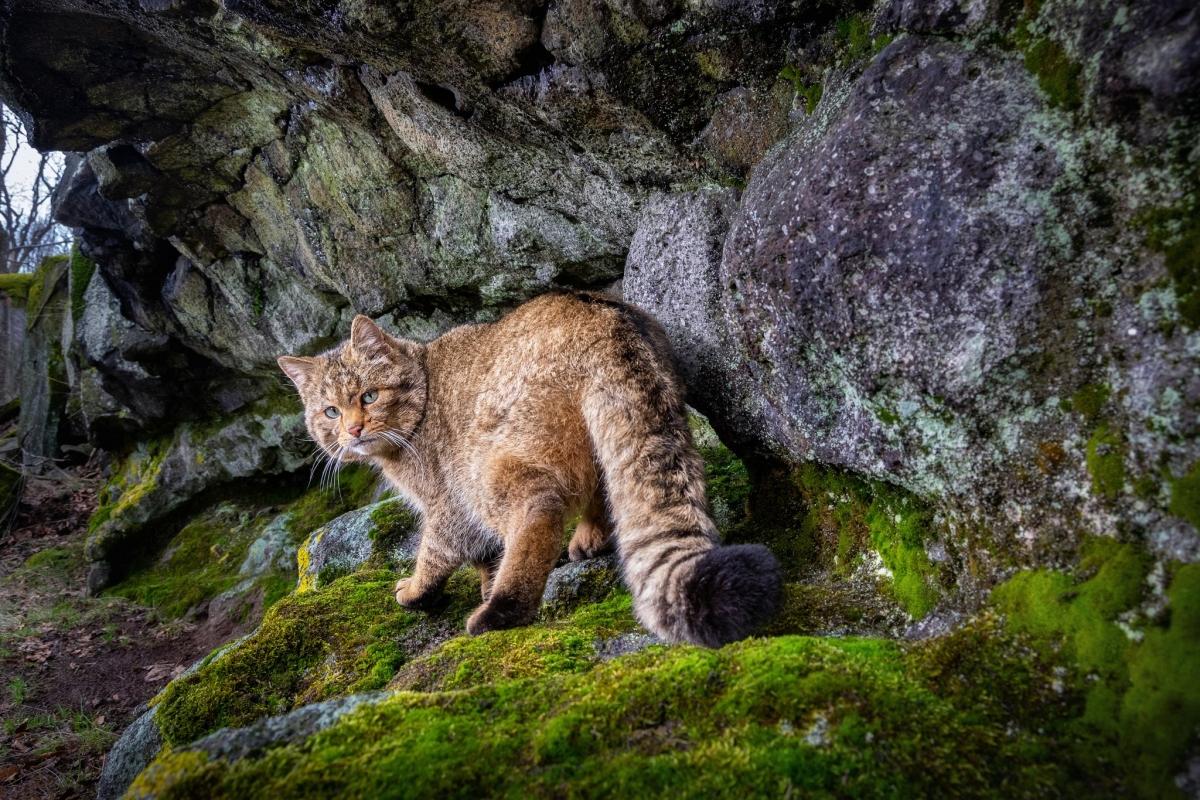 Mèo rừng châu Âu (hay còn có tên là Felis silvestris silvestris) rất hiếm và khó có thể chụp ảnh. Sau khi xem xét khu vực trên trong vài tháng, nhiếp ảnh gia Vladimir Cech Jr. đã ghi lại được khoảnh khắc này ở Cộng hòa Séc.