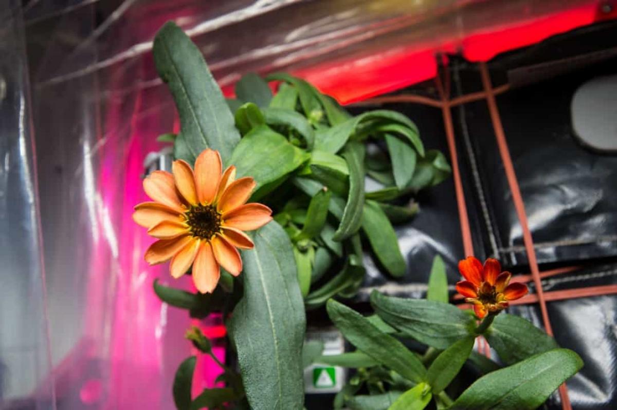 Thực vật cũng có thể sinh trưởng trên ISS, chẳng hạn như cây hoa cúc ngũ sắc này.