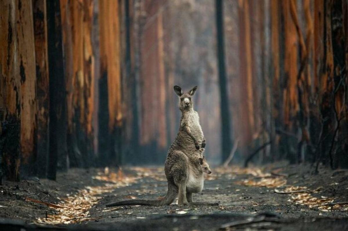 """""""Hy vọng từ khu rừng bị đốt cháy"""" là thông điệp trong bức ảnh của tác giả Jo-Anne Mcarthur chụp tại Mallacoota, Australia. Gần 3 tỷ con vật đã chết hoặc phải rời bỏ nơi sinh sống trong các vụ cháy rừng ở Australia năm 2019 và 2020. Chú kangaroo này và con của nó là những con vật may mắn sống sót và thoát ra khỏi khu vực bị cháy."""