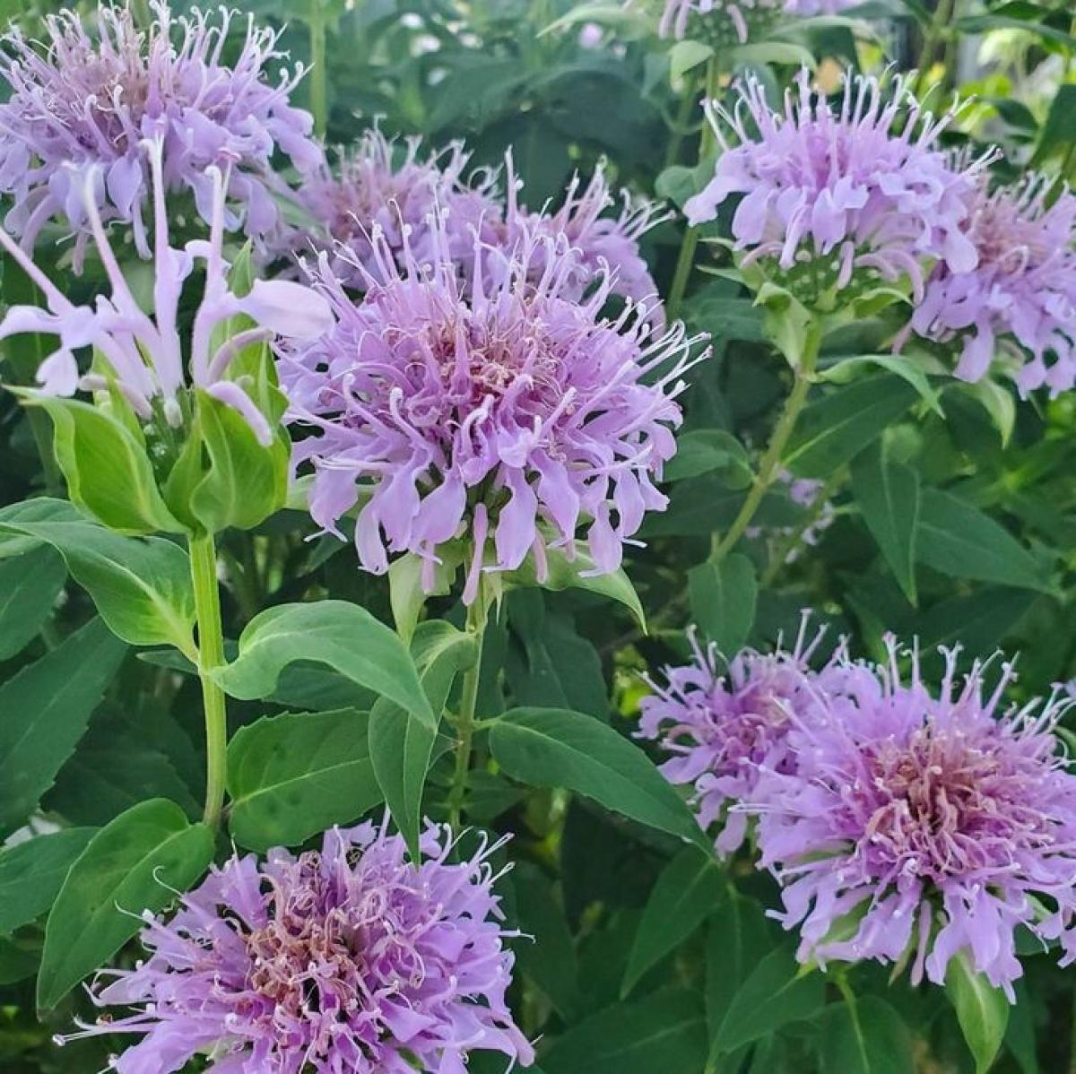 Cây dầu dưỡng ong hay còn được gọi là Bee Balm, thu hút chim ruồi và ong, nhưng rễ của nó cũng có vai trò quan trọng như một loại thuốc trừ sâu.Chúng chứa thymol, có thể ngăn chặn các loài gây hại dưới lòng đất.