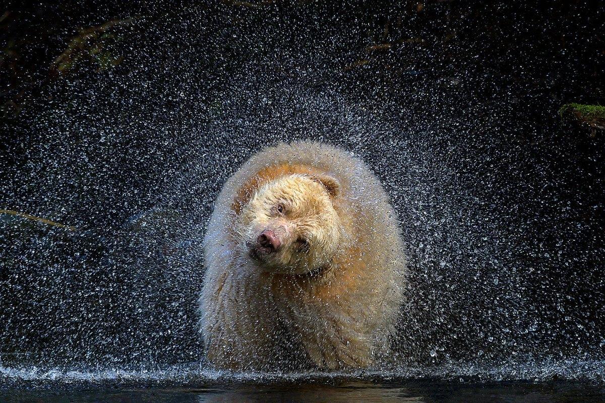 """Gấu thần linh, hay còn gọi là gấu Kermode là một phân loài đặc biệt của gấu đen Bắc Mỹ. Trong khi hầu hết gấu Kermode có màu đen, có khoảng vài trăm cá thể hoàn toàn màu trắng. Chú gấu được biết tới với tên gọi """"Boss"""" này đang lắc đầu để rũ cho khô lông sau khi cúi xuống sông bắt cá hồi. Bức ảnh ấn tượng này được nhiếp ảnh gia Michelle Valberg chụp lại trong khu rừng Great Bear ở Canada."""
