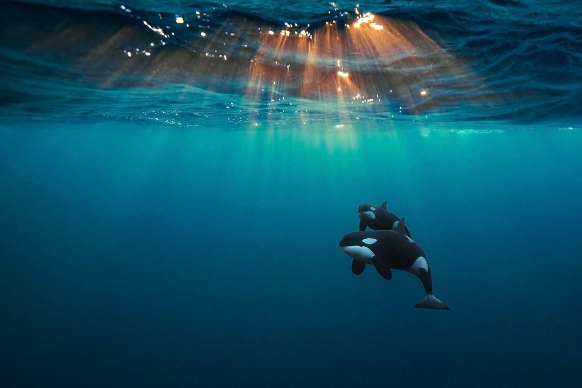 """""""Cá voi sát thủ dưới ánh mặt trời Bắc Băng Dương"""" là tên gọi bức ảnh ấn tượng của nhiếp ảnh gia Andy Schmid chụp tại Skjervøy, Na Uy. """"Bà mẹ"""" cá voi sát thủ tò mò nhưng luôn sẵn sàng bảo vệ con mình này đã để cho nhiếp ảnh gia bơi gần nó trong gần 1 tiếng để chụp ảnh."""