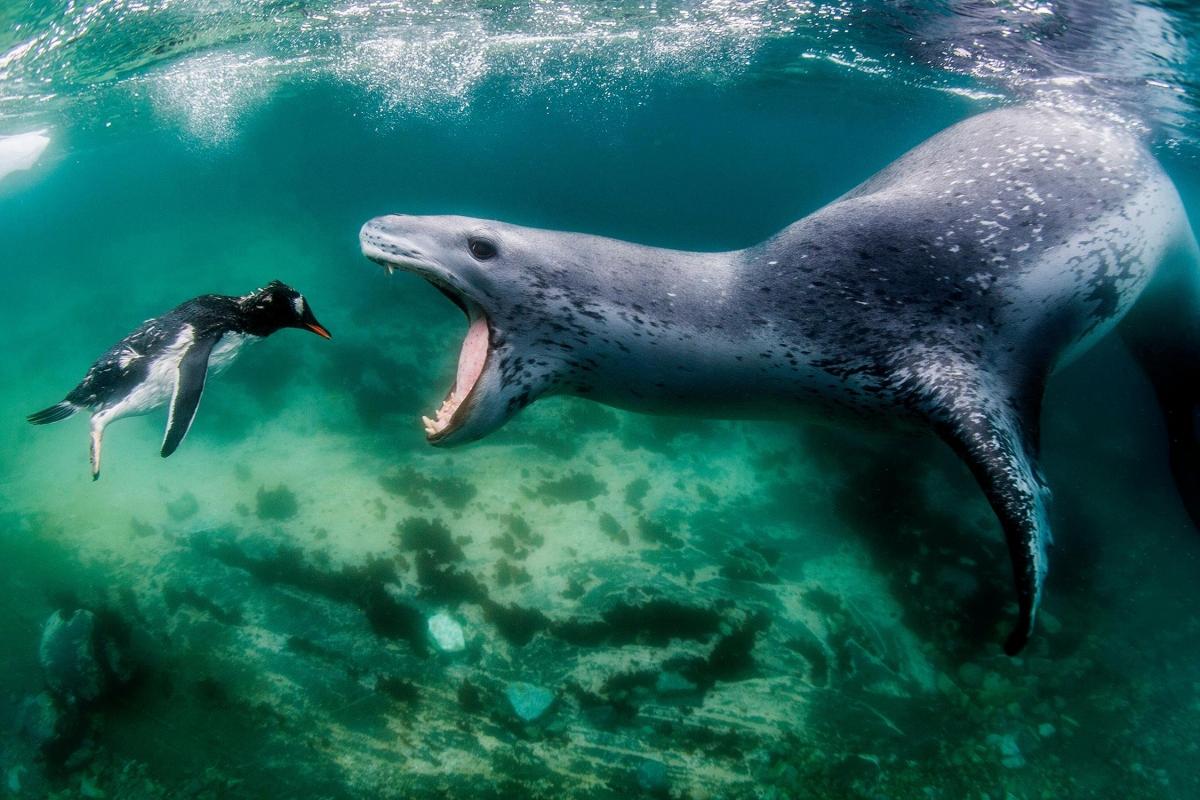 """Bức ảnh mang tên """"Đối mặt với thực tế"""" của nhiếp ảnh gia Amos Nachoum cho thấy một góc nhìn khác về thế giới tự nhiên. Một chú chim cánh cụt con nhảy vào vùng đầm phá để chơi đùa và bị một chú hải cẩu báo đang nằm phục kích từ trước nhảy ra hăm dọa."""