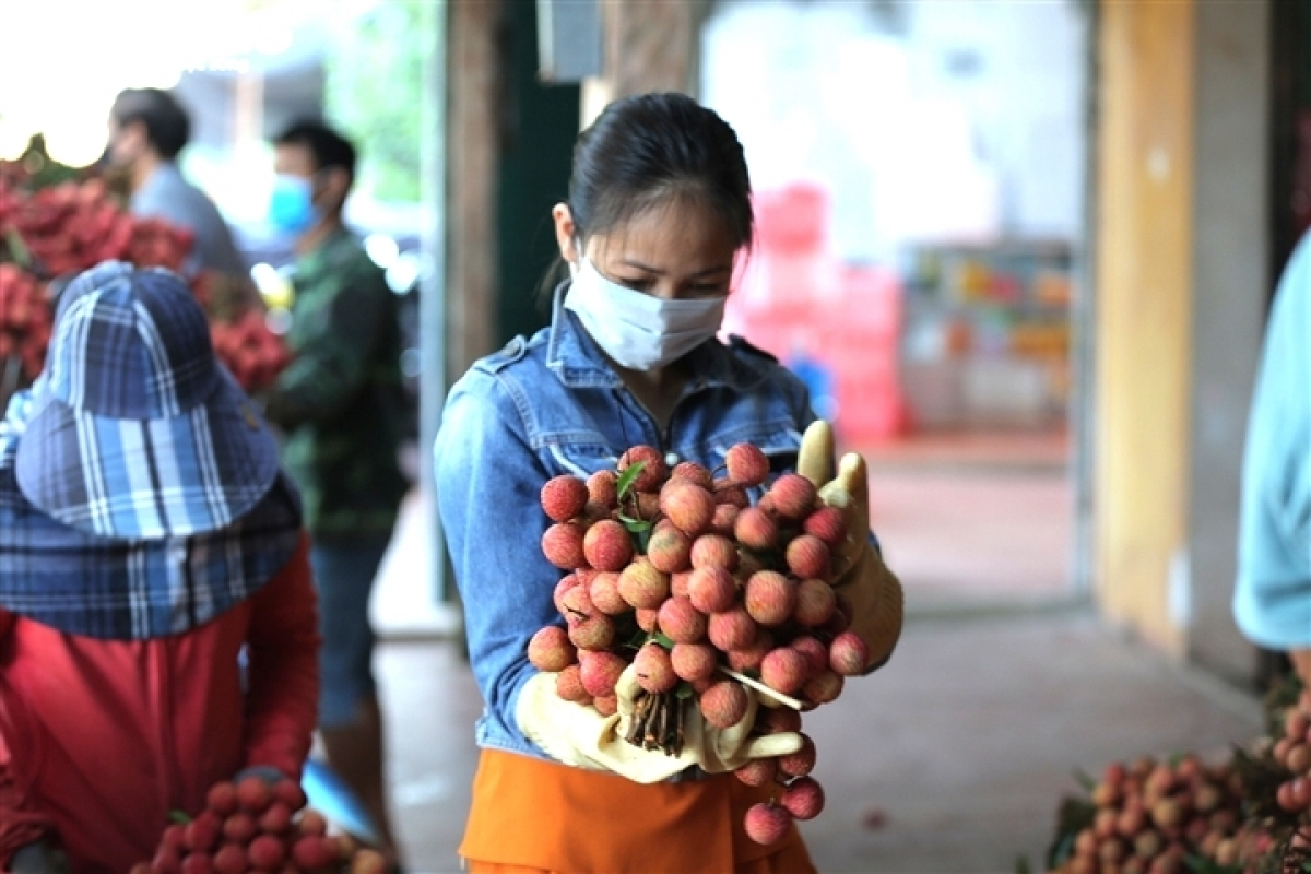 Bunches of lychees are carefully trimmed before being sold to retailers.