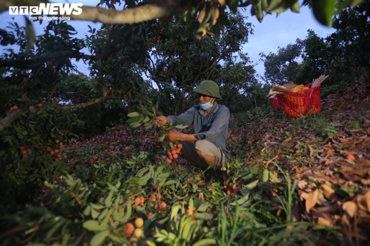 """Bac Giang is renowned for being """"Vietnam's capital of lychees"""" as it is the largest producer of lychees in the country, followed by Hai Duong and Hung Yen."""