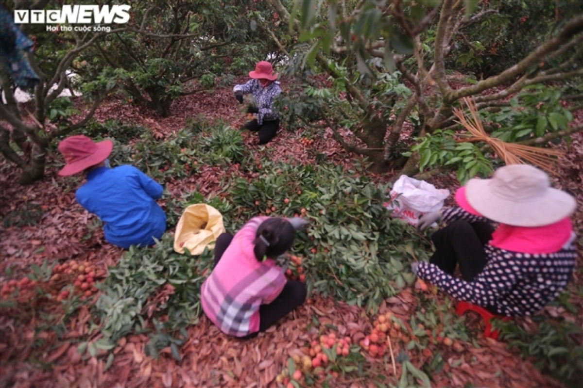 These days, lychee growers and traders can be found busy harvesting and selling the juicy fruit.