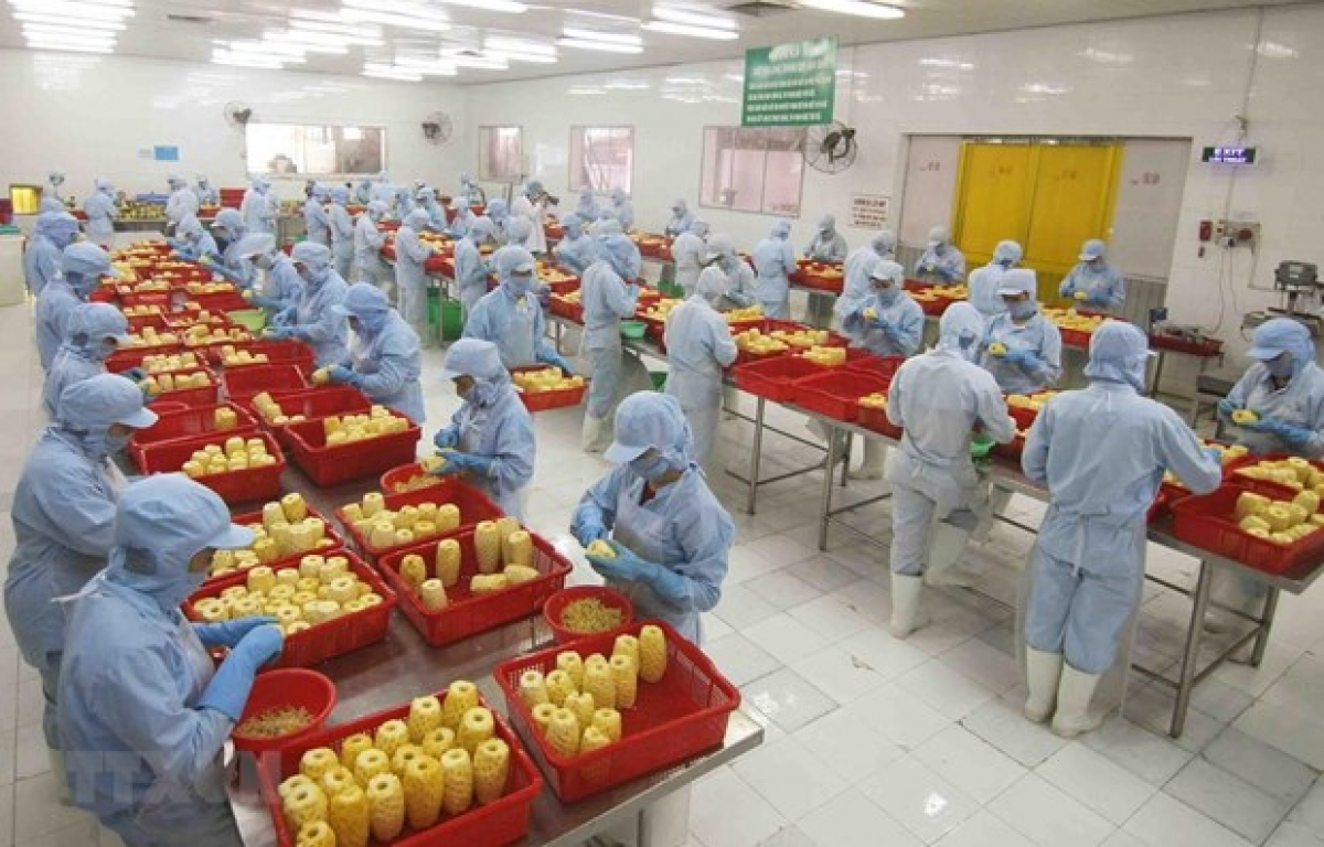 Processing pineapples at a plant in An Giang