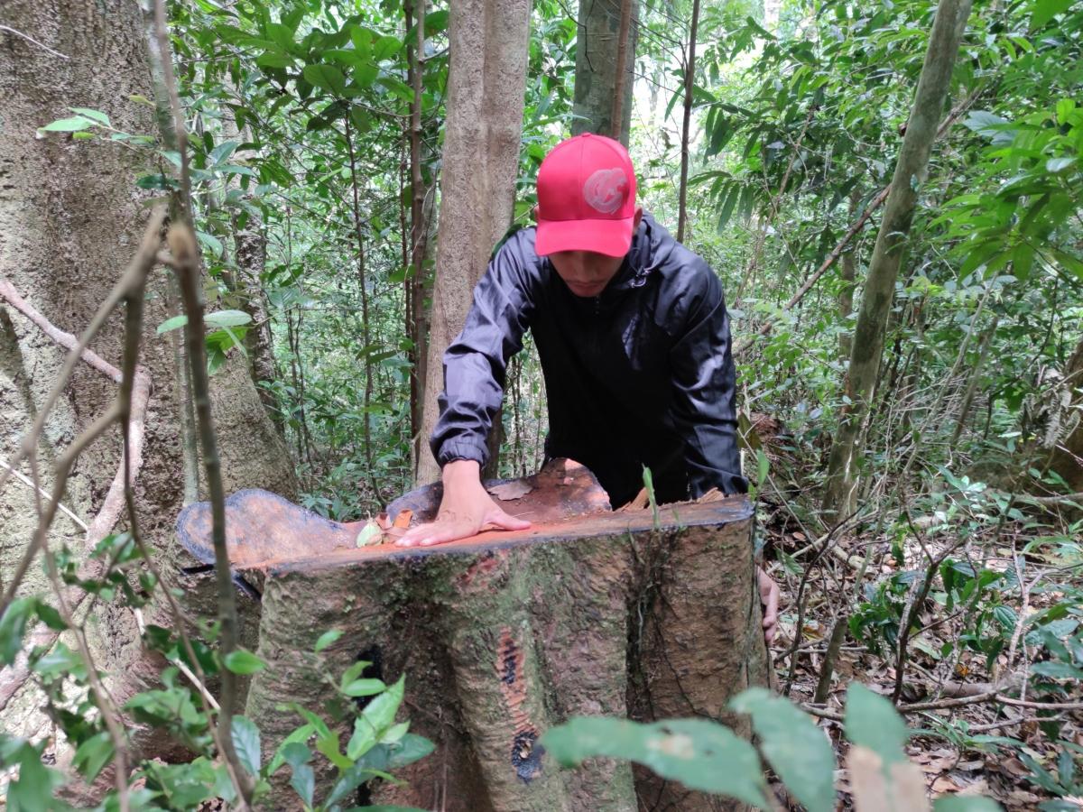Hiện trường vụ phá rừng ở tiểu khu 489, lâm phần UBND xã H'Ra, Mang Yang quản lý.