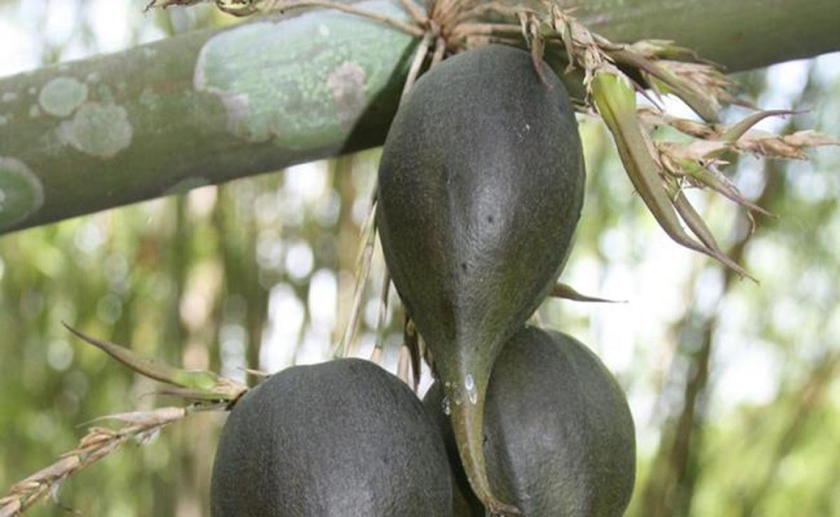 Đây là quả của một loại cây họ tre, ăn nhân có vị ngọt nhẹ.