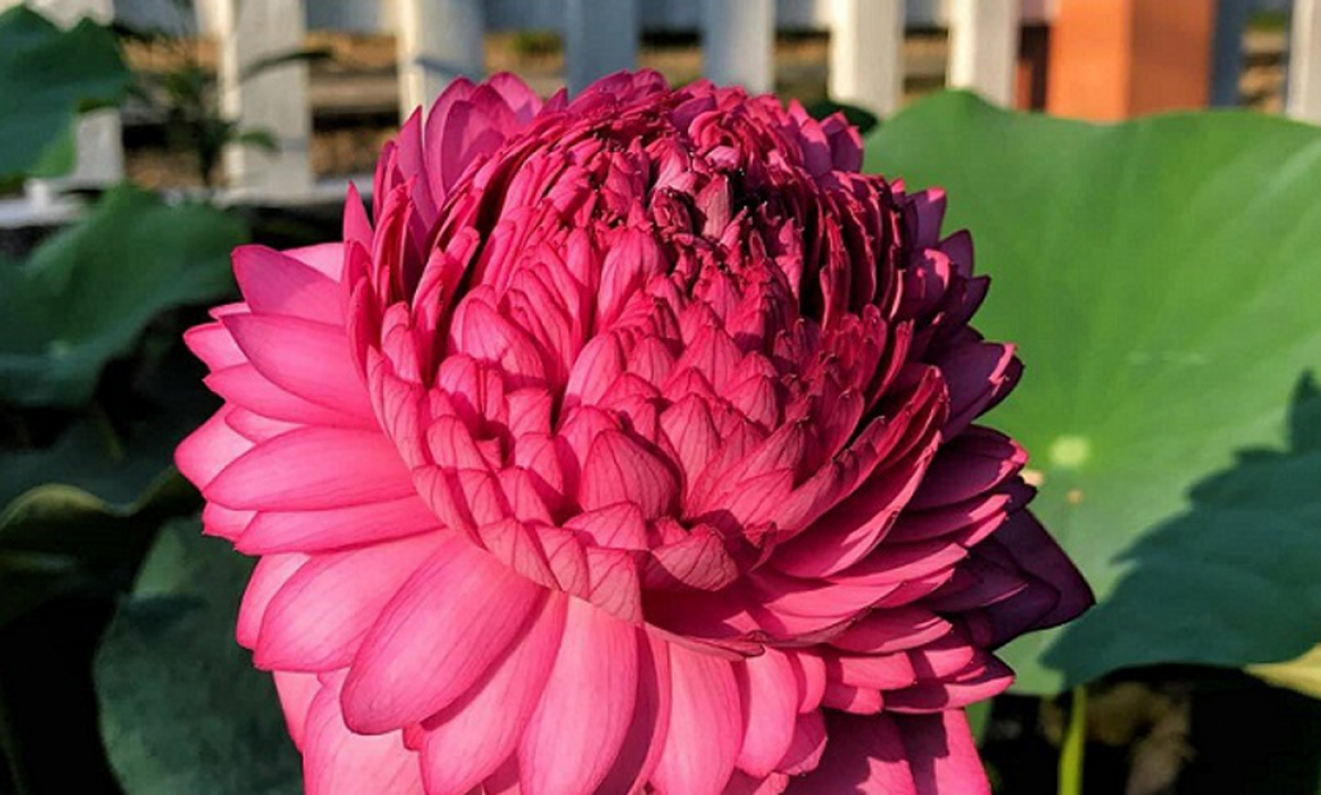 Bên cạnh đó còn có cả hoa sen ngàn cánh, bông to khổng lồ. Mỗi bông nở gần ba tuần.