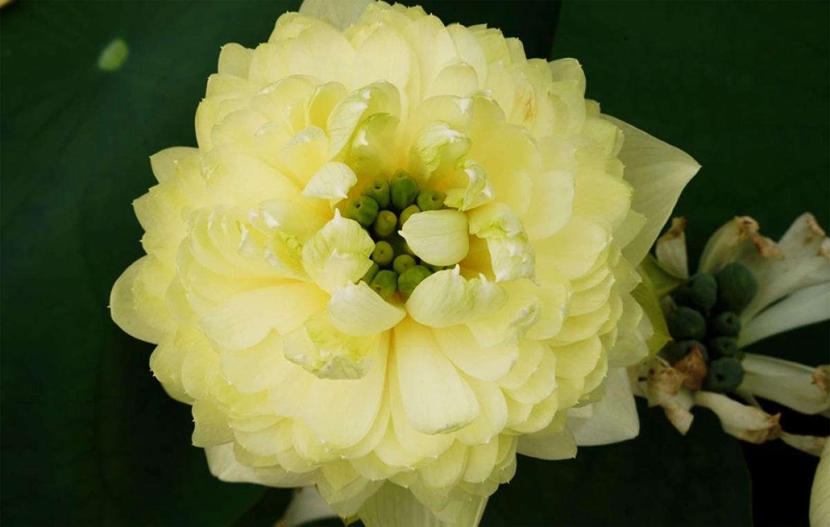 Sen táo trắng (white apple) có sức sống dẻo dai và sai hoa. Tùy thuộc vào nhiệt độ và chất đất mà hoa cho ra màu sắc khác nhau, lúc hoa gần tàn cho màu vàng hoặc xanh cốm./.