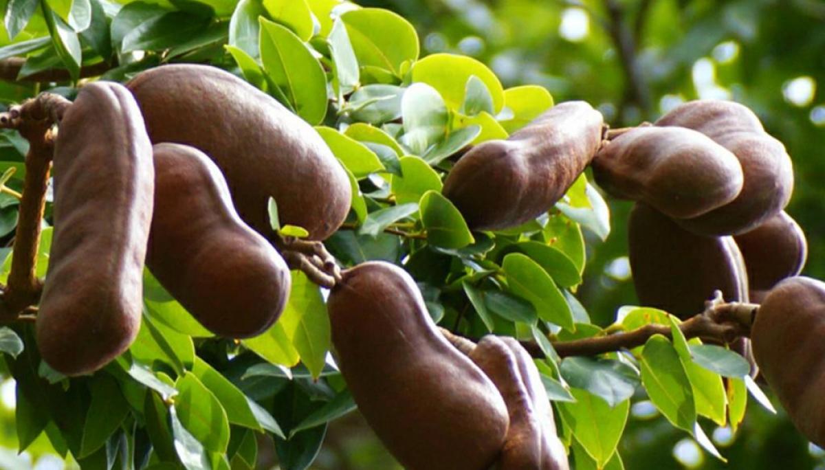 Ngoài khu vực Mexico, Trung và Nam Mỹ, cây Stinking Toe còn mọc ở Jamaica và một số hòn đảo ở khu vực Caribe.
