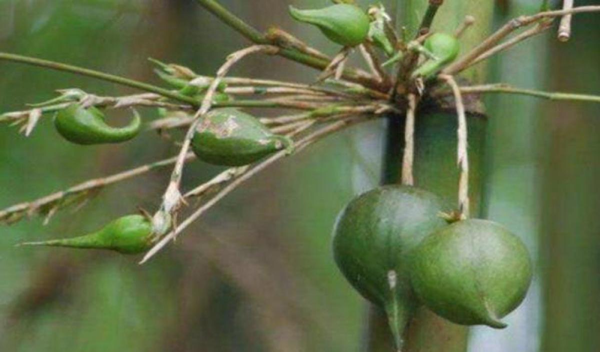 Loại quả này có phần vỏ dày và cứng như vỏ tre, phần thịt bên trong màu xanh vàng, không có hạt và rất mọng nước.