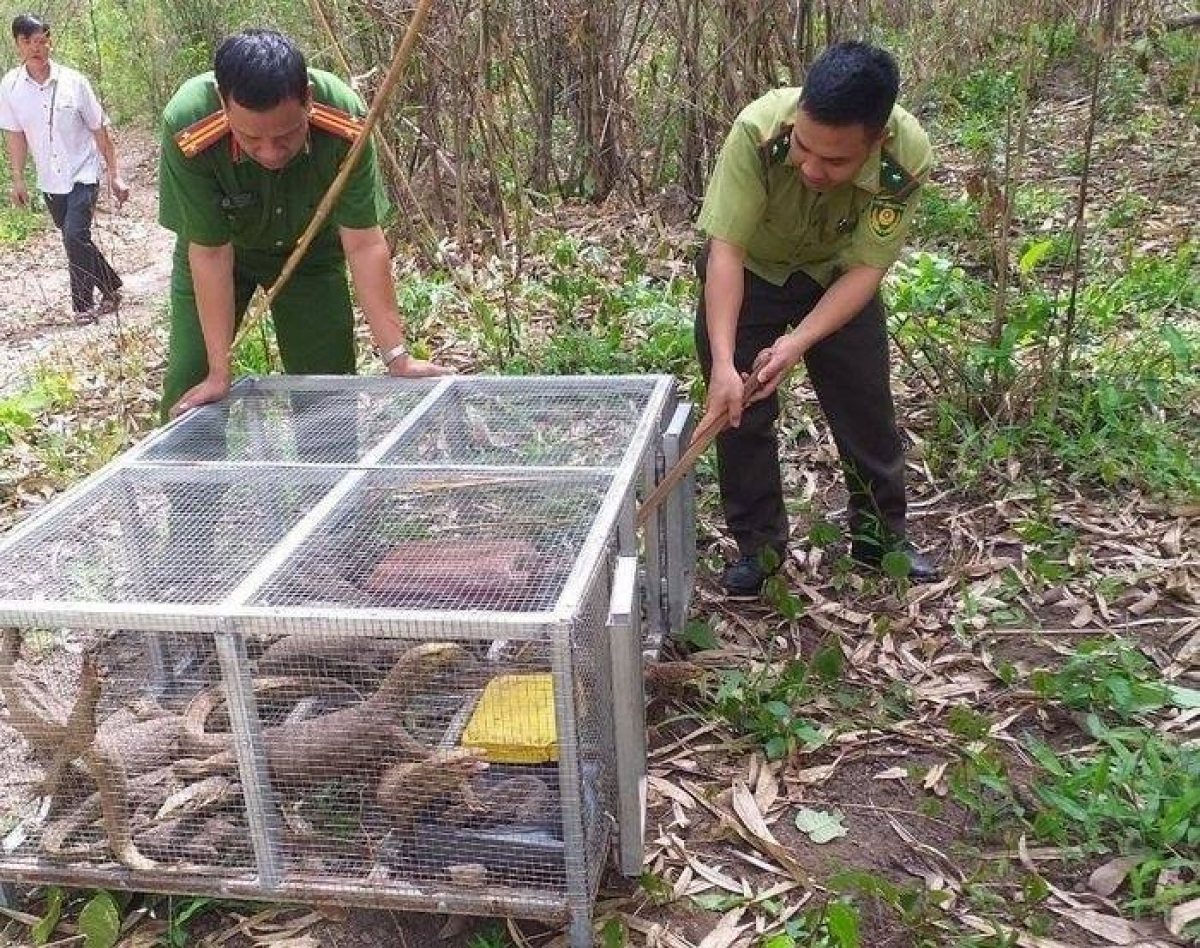 Lực lượng chức năng thả các cá thể kỳ đà vân về tự nhiên.