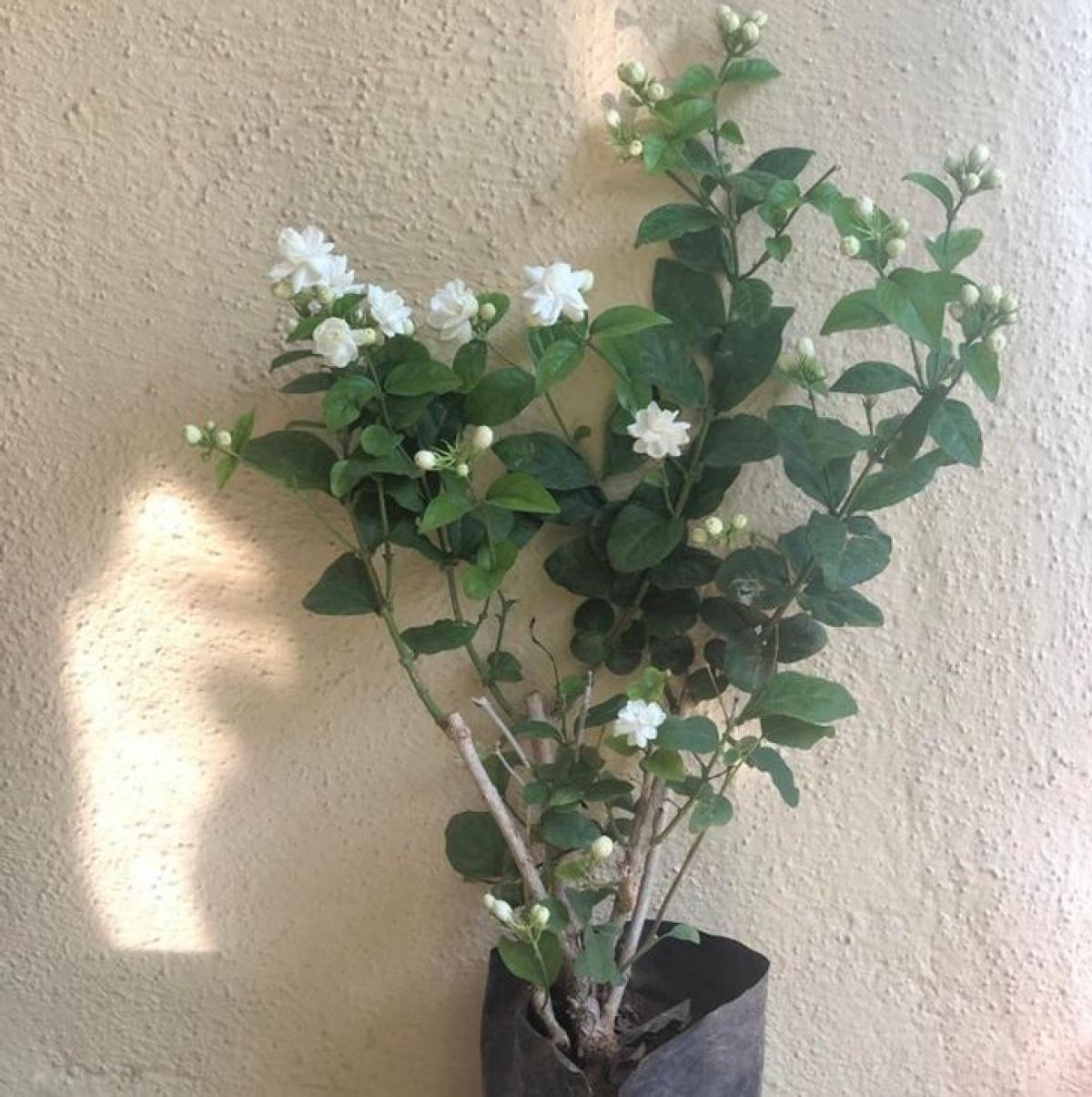 Cây hoa nhài: Loài cây xinh đẹp có hoa màu trắng này có mùi hương ngọt ngào dễ chịu, ngoài tác dụng thư giãn, làm giảm lo lắng thì nó còn giúp bạn nghỉ ngơi vào ban đêm. Hoa nhài ưa nhiệt độ mát, nhiều ánh nắng và thanh lọc không khí.