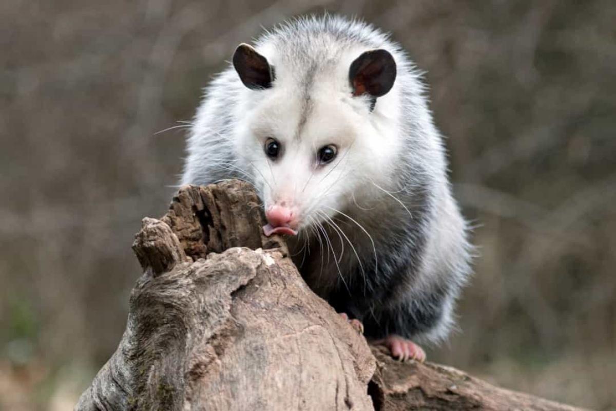 Chồn Opossum cũng là một loài động vật thích ngủ khi chúng có thể ngủ từ 18 - 20 tiếng/ngày.