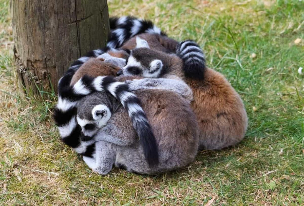 Những con vượn cáo đuôi vòng không phải loài vật lười biếng nhất nhưng chúng đáng yêu nhất khi trở nên lười biếng. Khi đến lúc cần phải ngủ, những con vượn cáo đuôi vòng sẽ cuộn tròn và ôm lấy nhau ngủ.