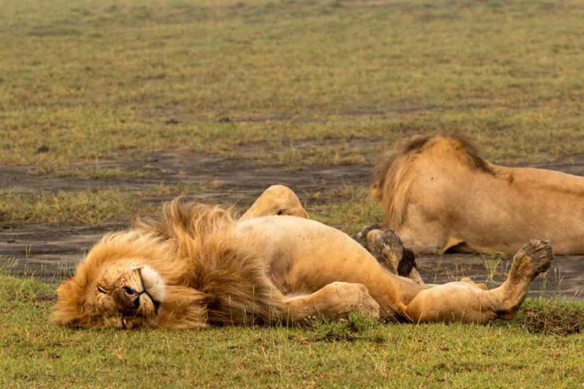 Sư tử cũng là một loài động vật lười biếng khi chúng ngủ từ 18 - 20 tiếng/ngày bởi môi trường sống nắng nóng và việc săn mồi cần nhiều năng lượng./.