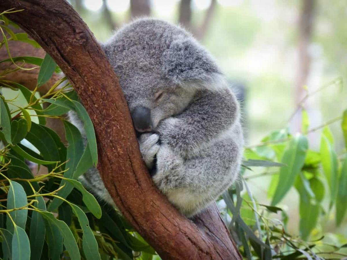 Gấu Koala chỉ thức khoảng 2 - 6 tiếng/ngày và chúng dành khoảng thời gian ít ỏi ấy để ăn trước khi lại chìm vào giấc ngủ.