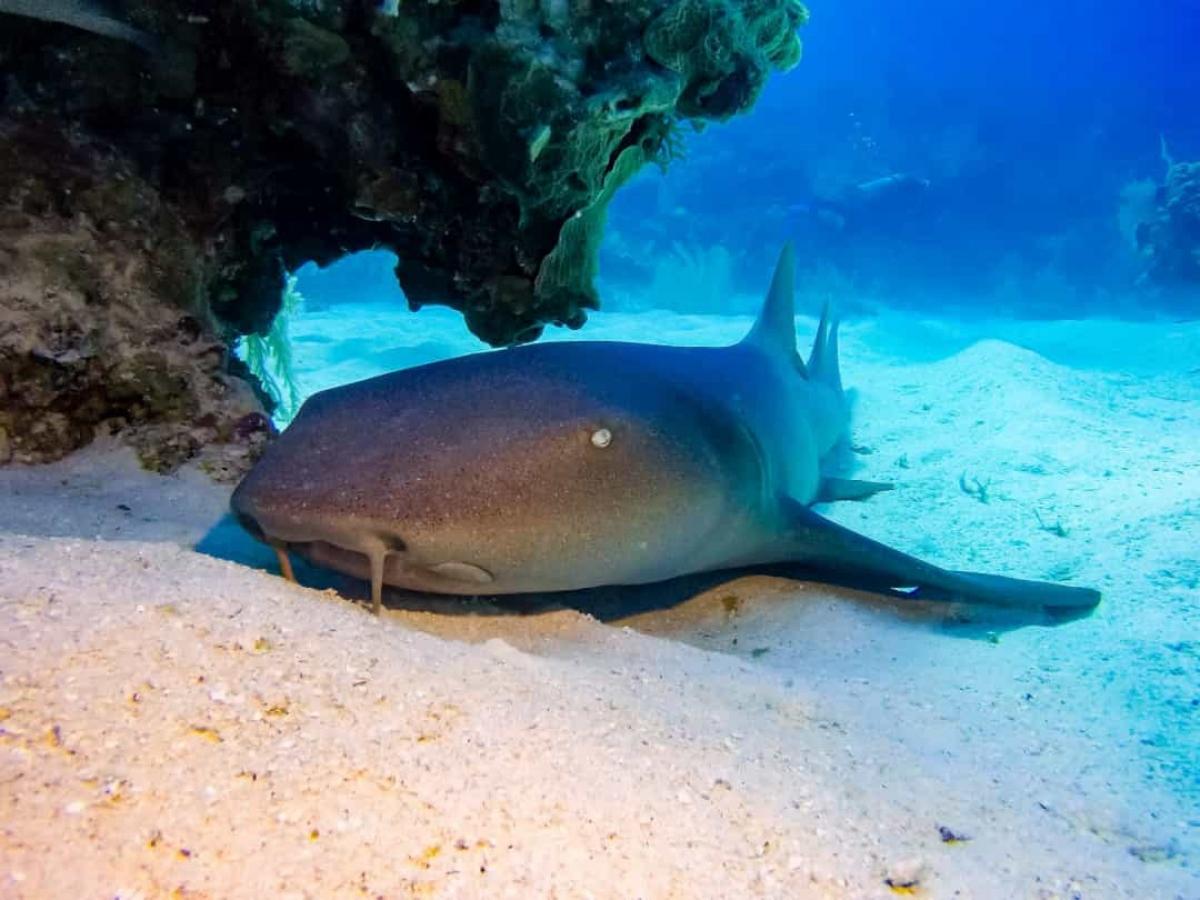 """Hầu hết cá mập đều phải chuyển động liên tục bởi hệ hô hấp của chúng cần sự chuyển động nhưng cá mập miệng bản lề (hay Nurse shark) thì không như vậy. Được gọi với cái tên là """"củ khoai tây dài của biển"""", loài cá mập này có thể bơm nước qua mang của chúng mà không cần di chuyển, giúp cho chúng có thể thư thái ở dưới đáy biển trong phần lớn thời gian."""