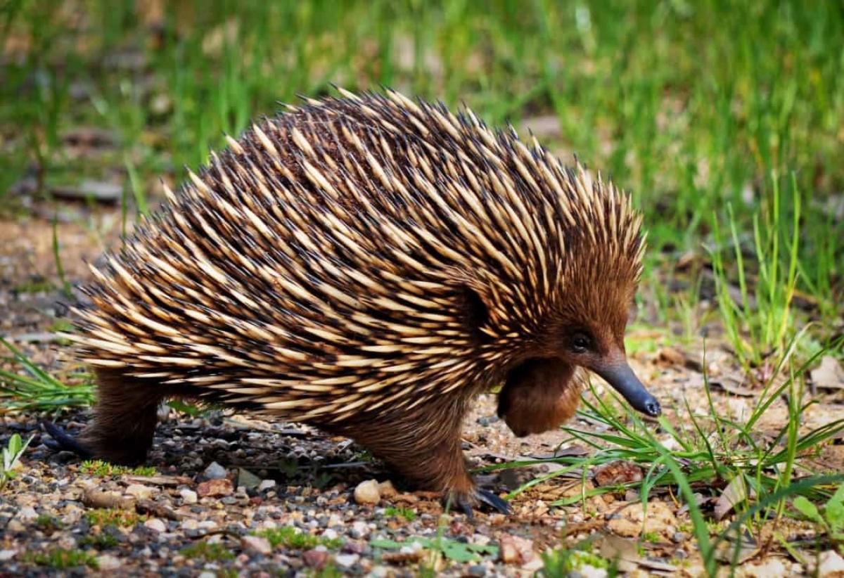 """Chính vì thế, thú lông nhím không thích nhiệt độ cao nhưng chúng lại """"mắc kẹt"""" trong nắng nóng ở những vùng khí hậu nóng của Australia. Thú lông nhím thường linh hoạt hơn vào ban đêm và dành cả ngày ngủ để tránh ánh nắng mặt trời."""