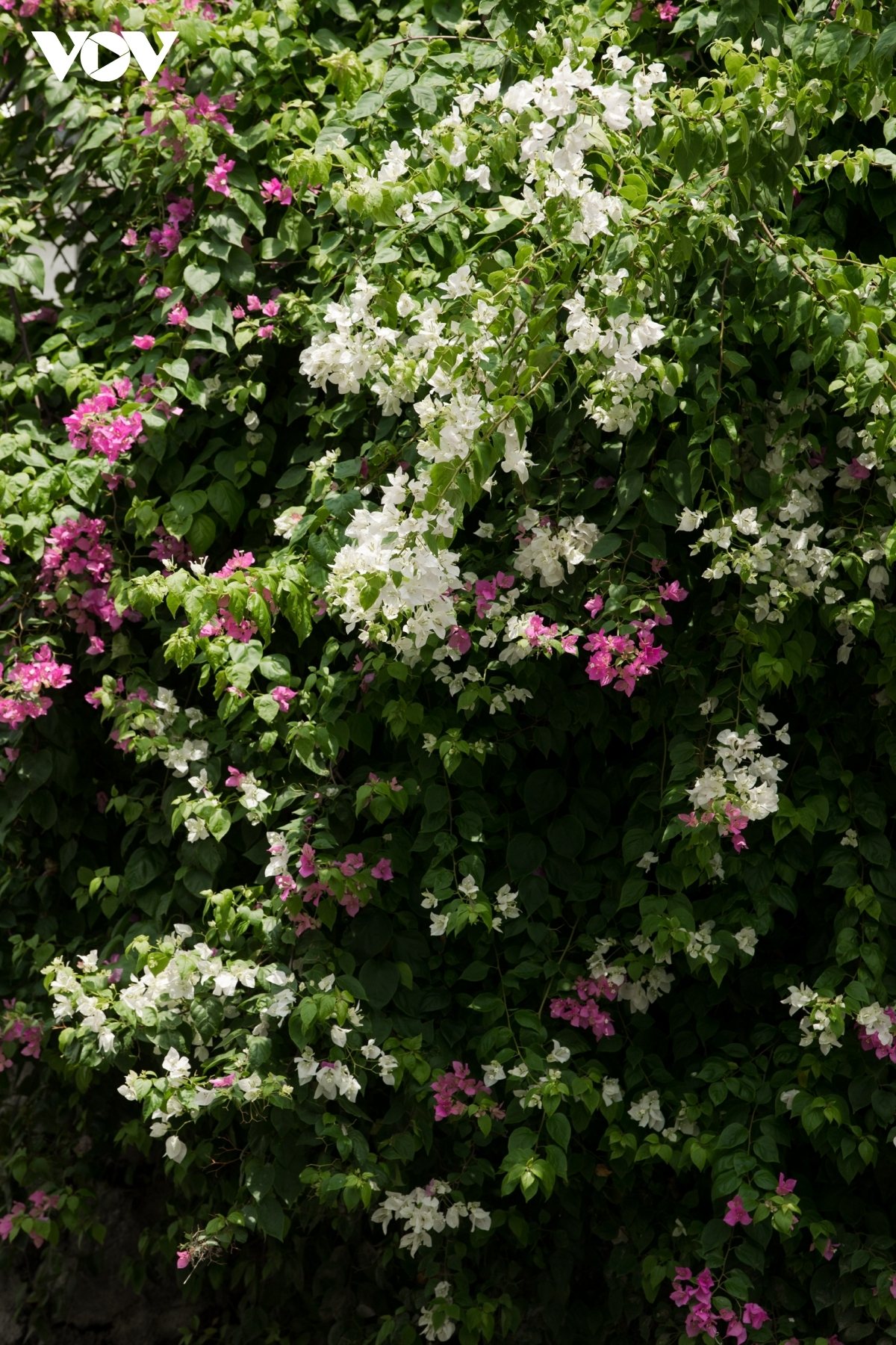 The sight of the flowers helps to create a peaceful and fresh atmosphere.