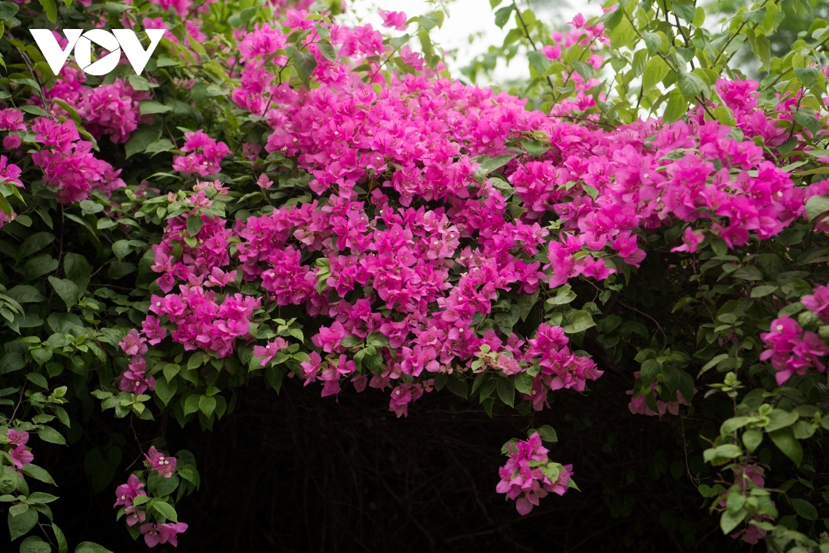 The flowers can be seen everywhere, including parks, schools, and homes.