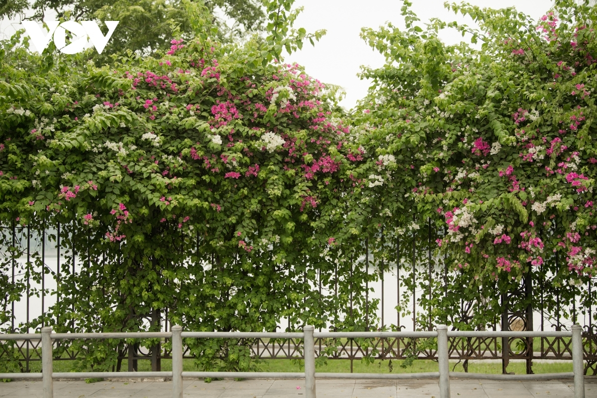 Plenty of streets throughout the city appear beautiful as they are adorned with pink blossoms.