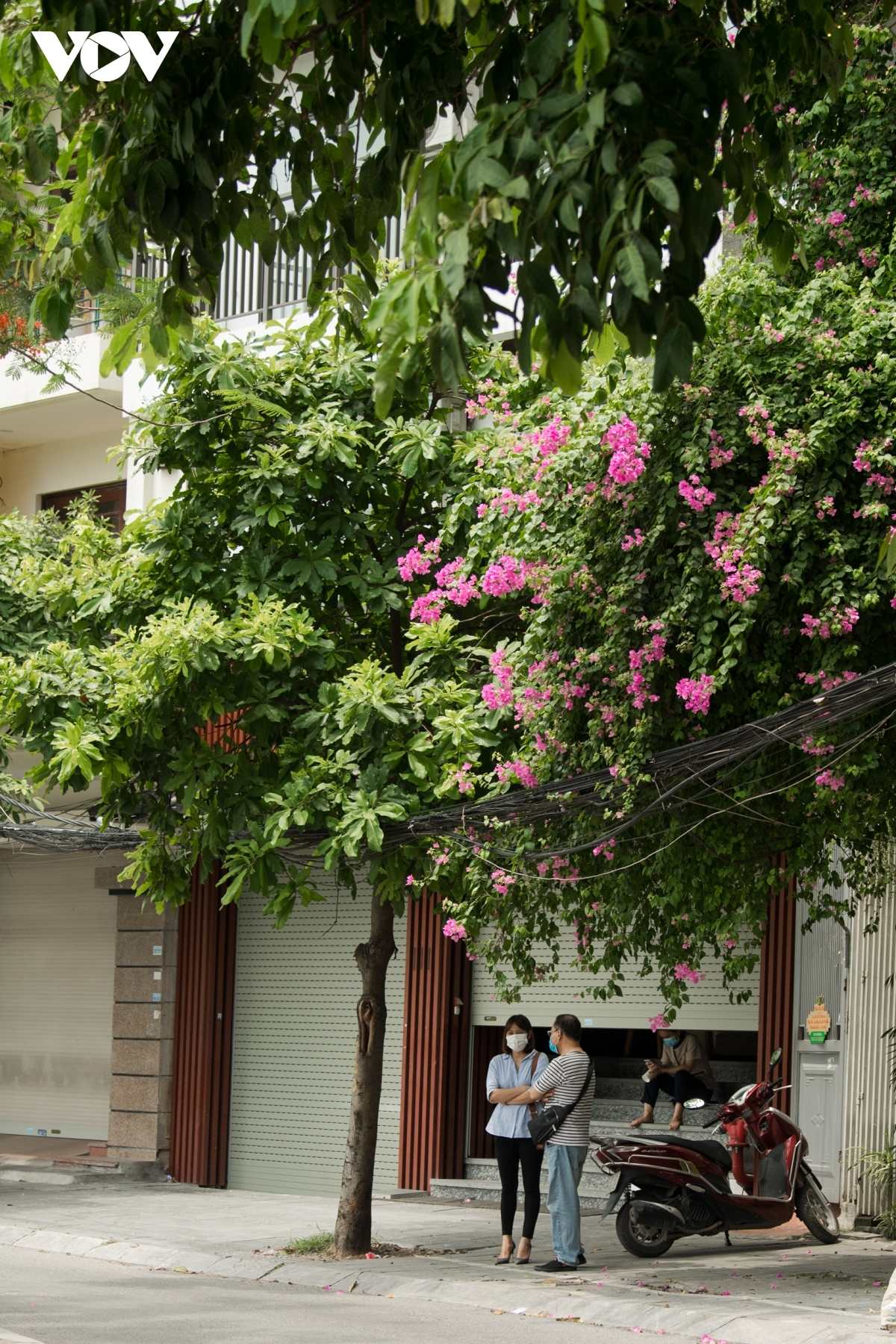 Scenes featuring pink blossoms serve to bring an impression of peace and romance to Hanoi.