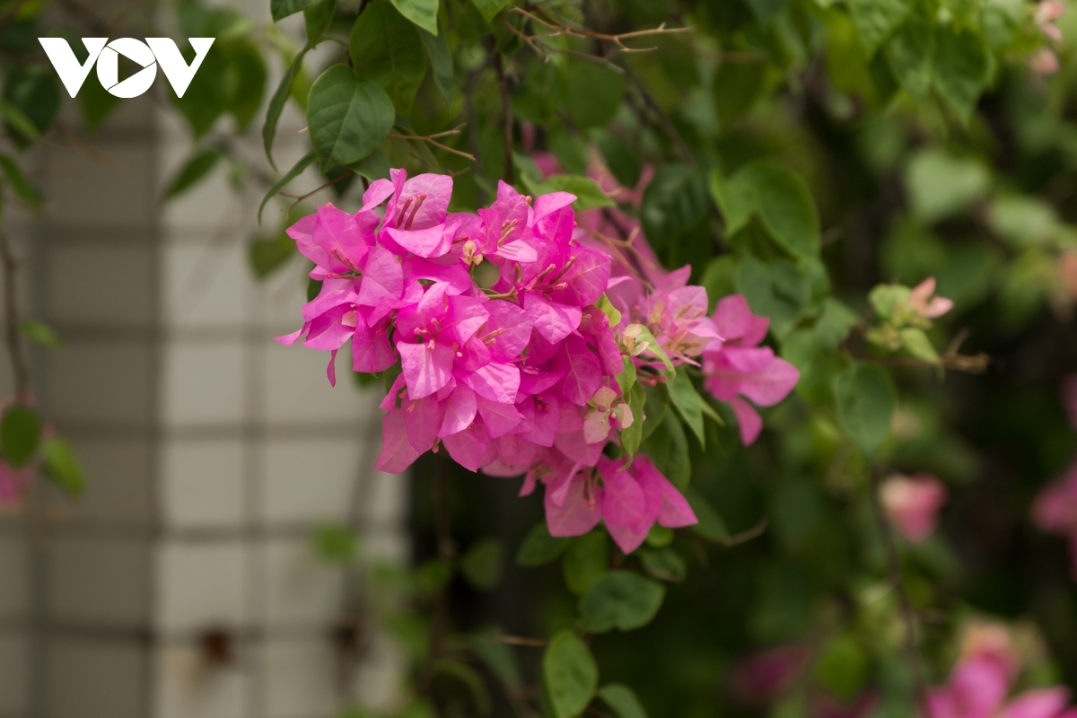 Hoa Giay in full bloom are an eye-catching sight which pleases many locals.
