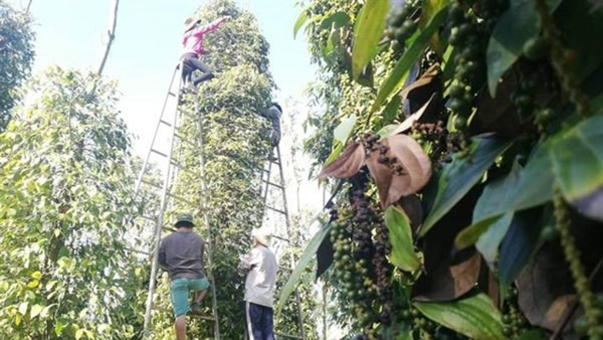 In the first six months of 2021, Vietnam's pepper exports were estimated at 155,000 tonnes, earning US$500 million. (Photo congthuong.vn)