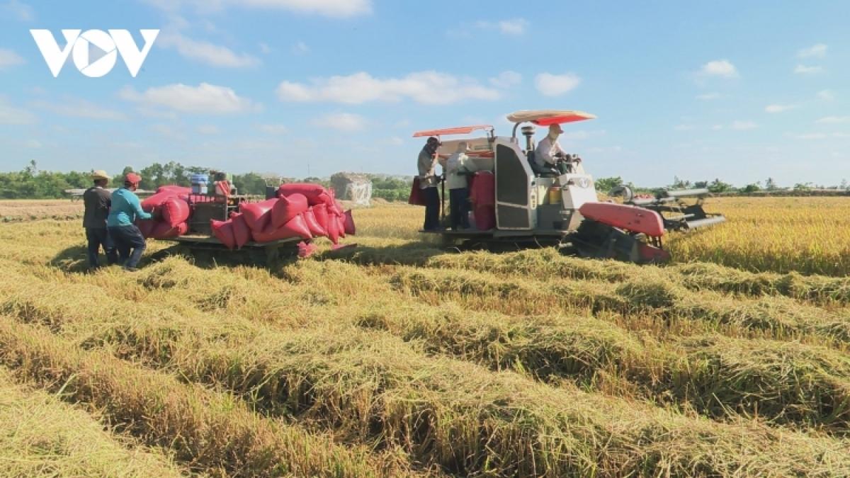700.000 ha lúa ở các tỉnh sắp phía Nam sắp được thu hoạch.