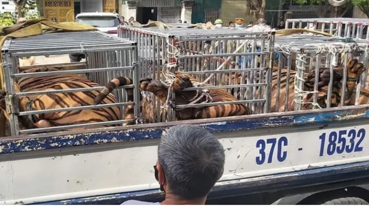 The tigers have been transported to an animal rescue centre for care. (Photo: dantri.com.vn)