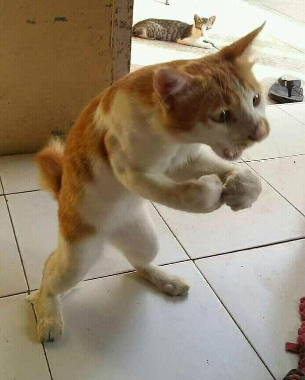 """""""Lực sĩ"""" mèo đang thể hiện sức mạnh của mình."""