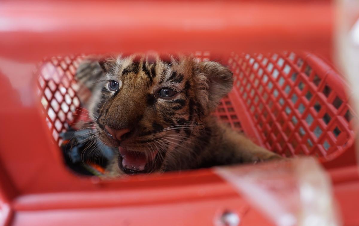 Hổ Đông Dương được liệt kê vào dạng loài nguy cấp trong Sách Đỏ IUCN kể từ năm 2008, khi số lượng bị suy giảm nghiêm trọng và tiếp cận ngưỡng cực kỳ nguy cấp.