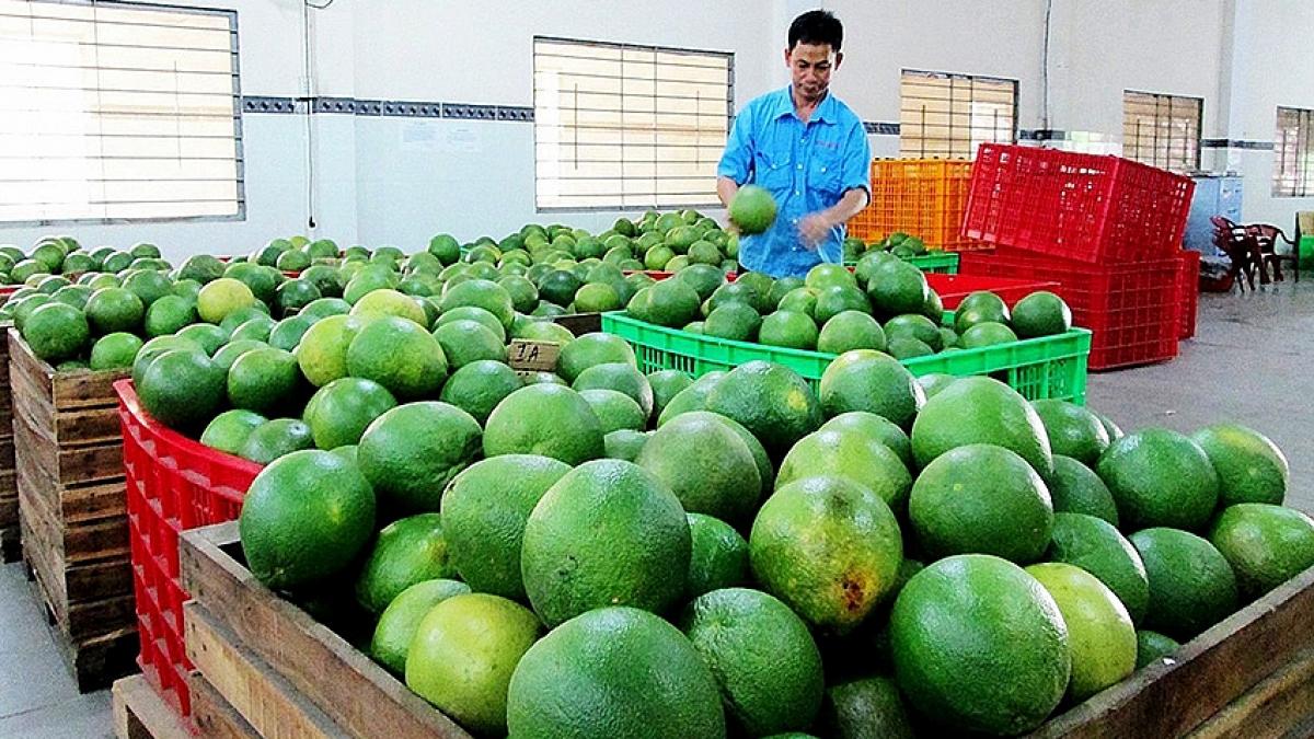 Quản bưởi Việt Nam đã được xuất khẩu sang Chile.