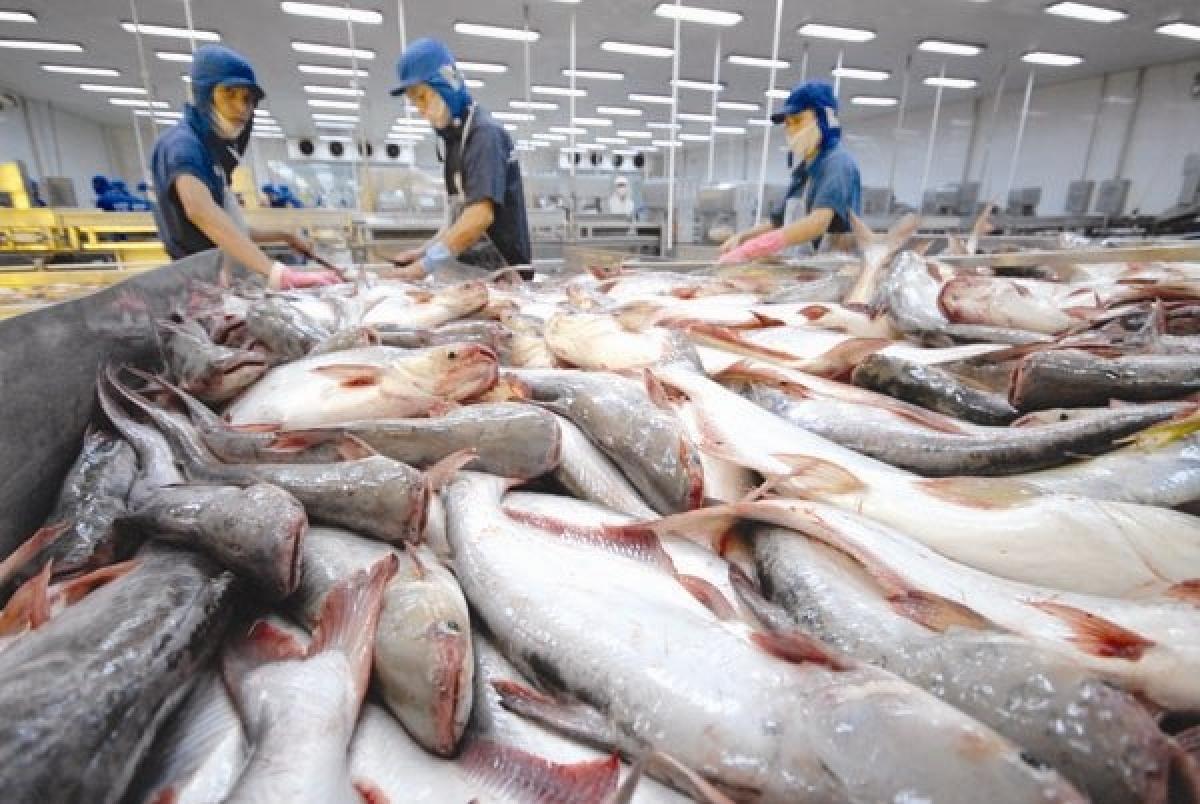 DN hiện khó khăn trong việc thu mua cá tra và thiếu hụt lao động.