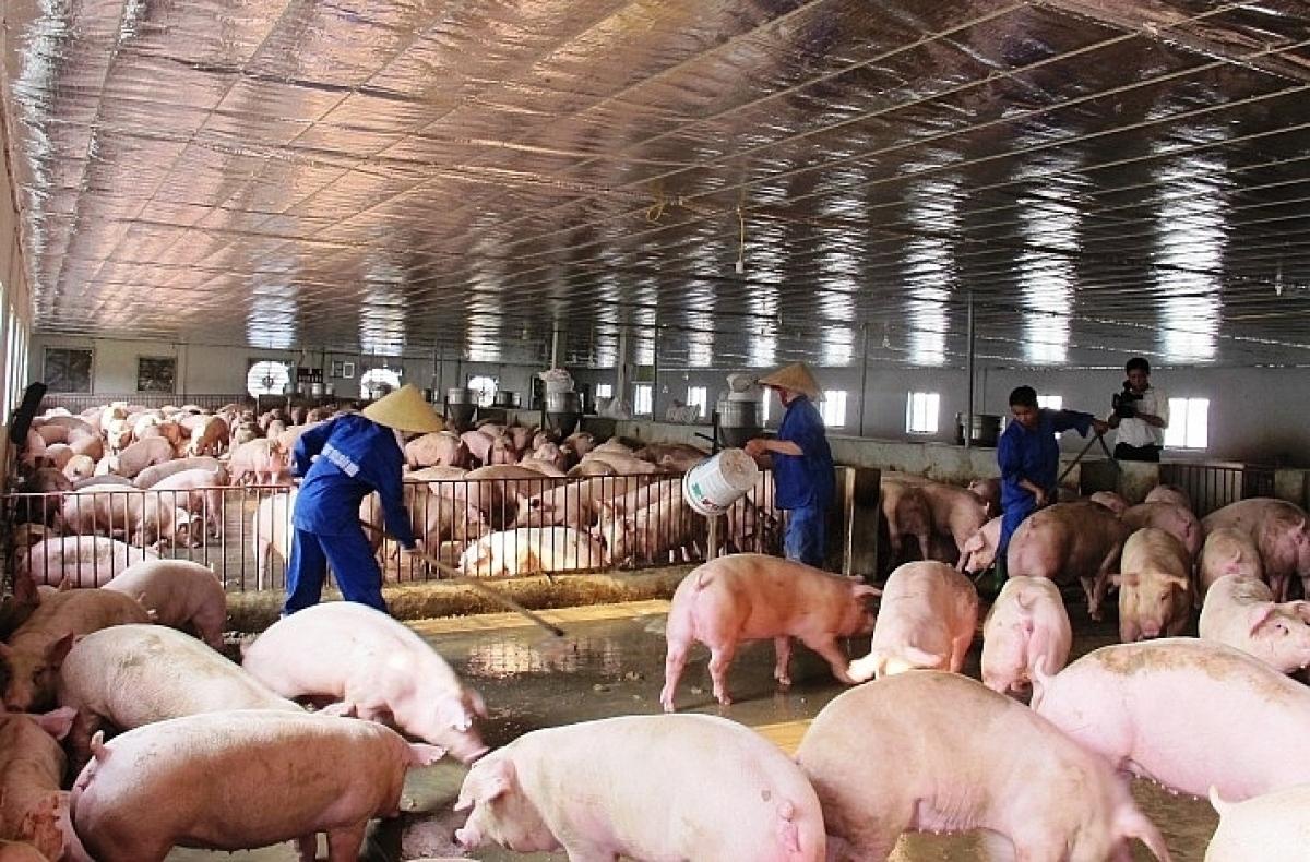 Nhiều trang trại chăn nuôi lợn quy mô lớn đang chịu lỗ tiền tỷ. (Ảnh: TL)