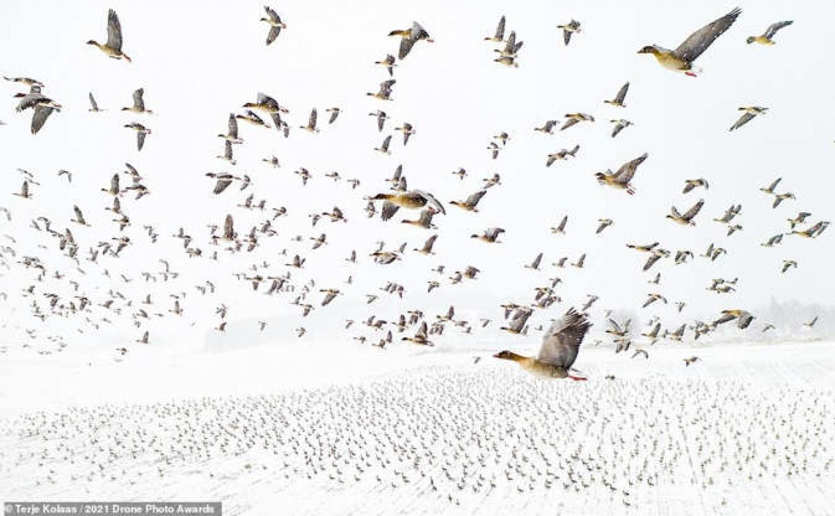 """Bức ảnh giành chiến thắng cuộc thi chụp ảnh từ máy bay không người lái thuộc về tác phẩm """"Cuộc gặp của những chú ngỗng chân hồng"""" của nhiếp ảnh gia Terje Kolaas. Bức ảnh được chụp ở Levanger, Na Uy cho thấy hàng nghìn chú ngỗng chân hồng đậu ở Na Uy vào mùa xuân khi đang trên đường tới Svalbard ở Bắc Cực để sinh sản."""