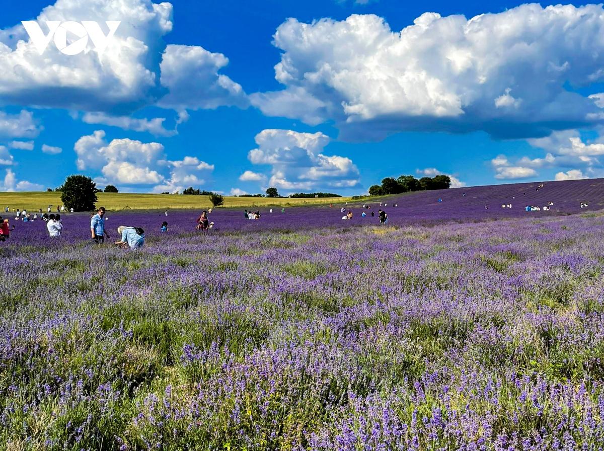 Nhắc đến những cánh đồng hoa oải hương (lavender), hầu hết mọi người nghĩ ngay đến khu vực miền Nam nước Pháp. Thực tế tại Anh, ngay gần thủ đô London cũng có điểm ngắm hoa oải hương tuyệt đẹp.