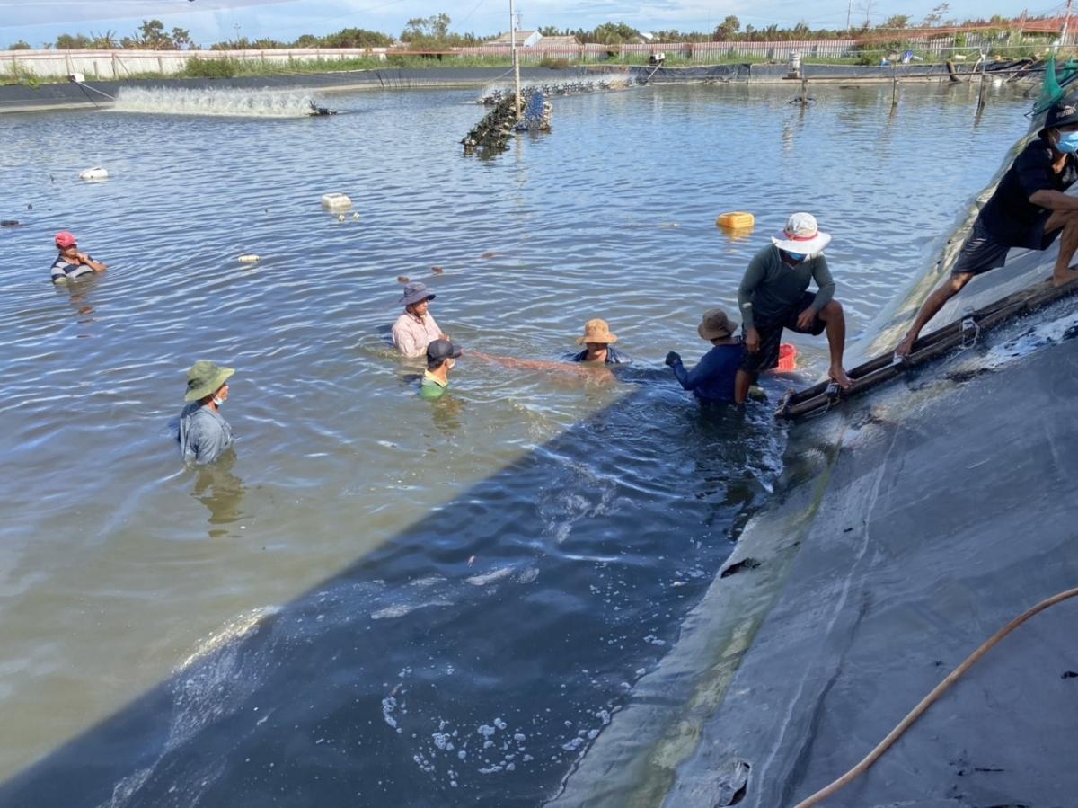Thu hoạch tôm công nghệ cao tại Tiền Giang