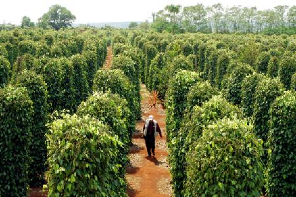 Việc thay đổi tư duy, trồng tiêu theo hướng hữu cơ, chủ động tìm đầu ra cho sản phẩm đã giúp hạt tiêu của Việt Nam chinh phục được thị trường trong và ngoài nước với giá thành cao hơn. (Ảnh minh họa)