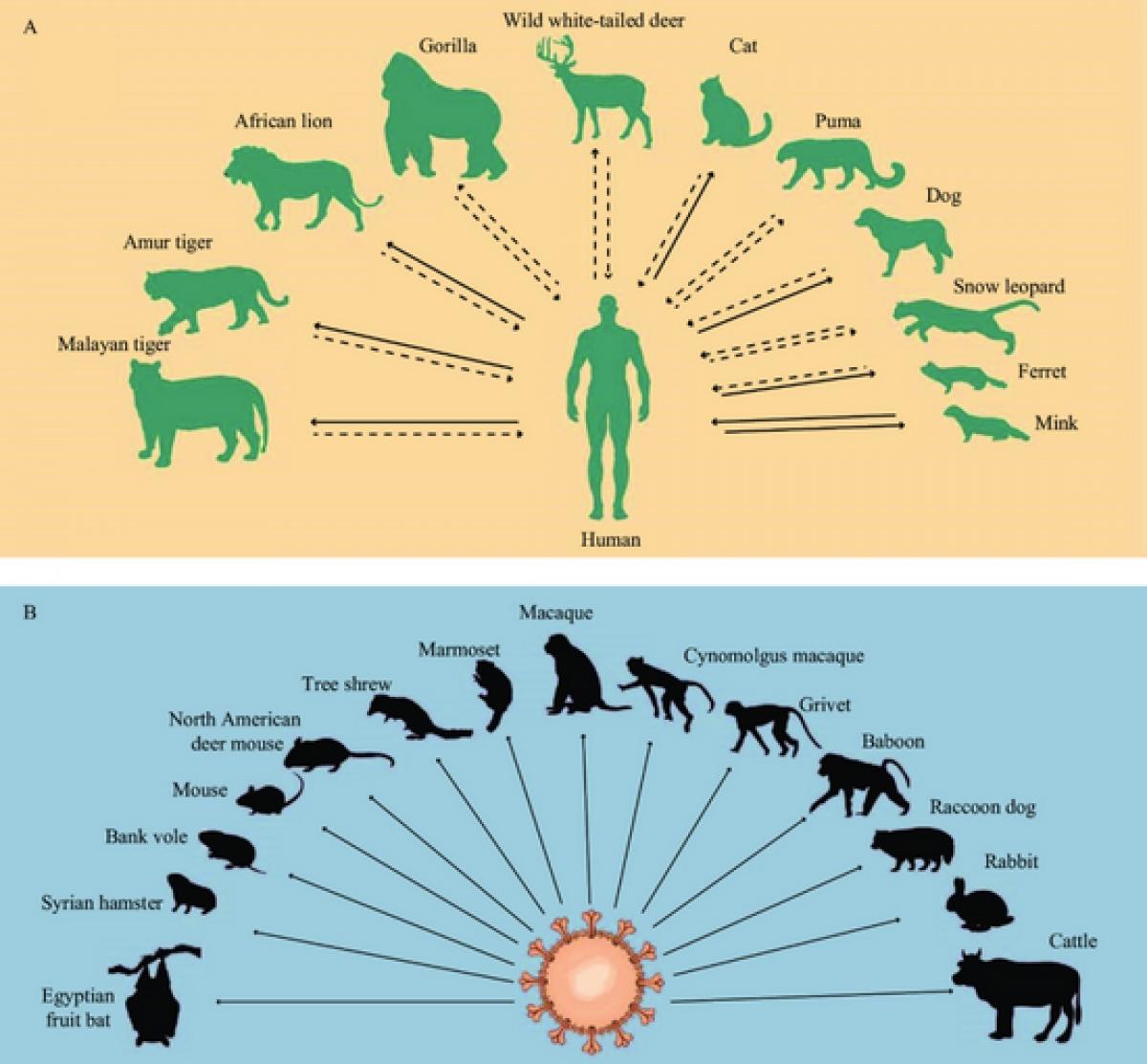 Hình ảnh minh họa sự lây lan của SARS-CoV-2 ở người và động vật.
