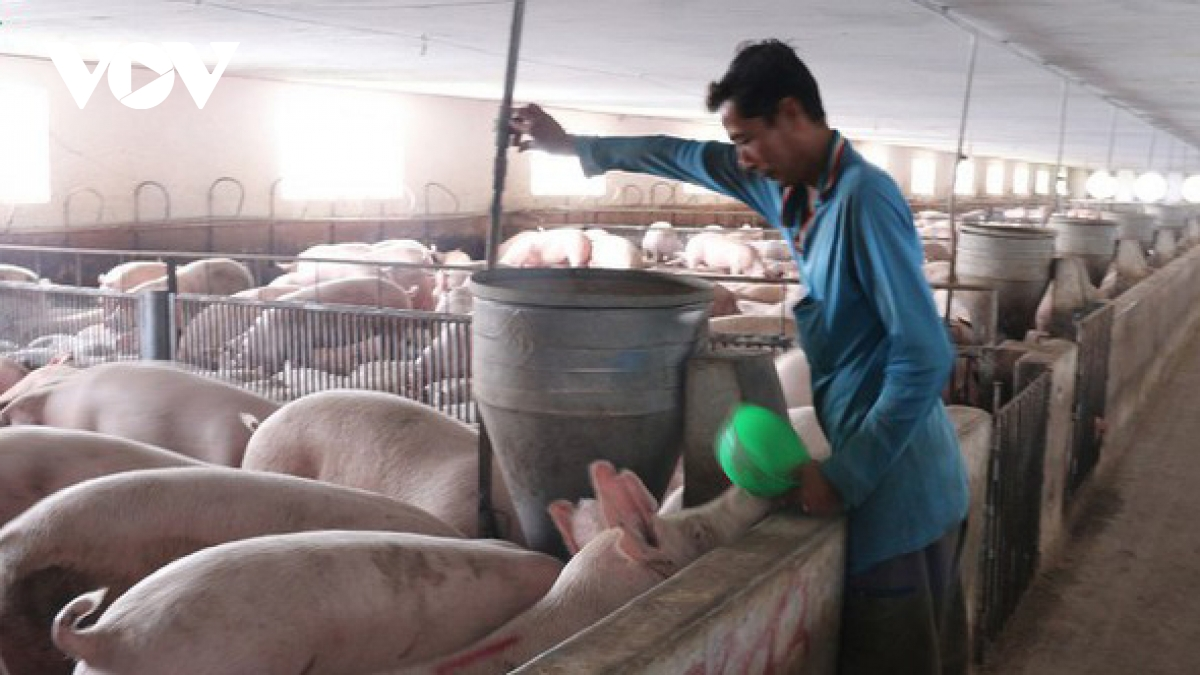 Trong quý 3 năm 2020, sản lượng lợn xuất chuồng của cả nước đạt 846.200 tấn, tăng 9,7% so với cùng kỳ năm trước.