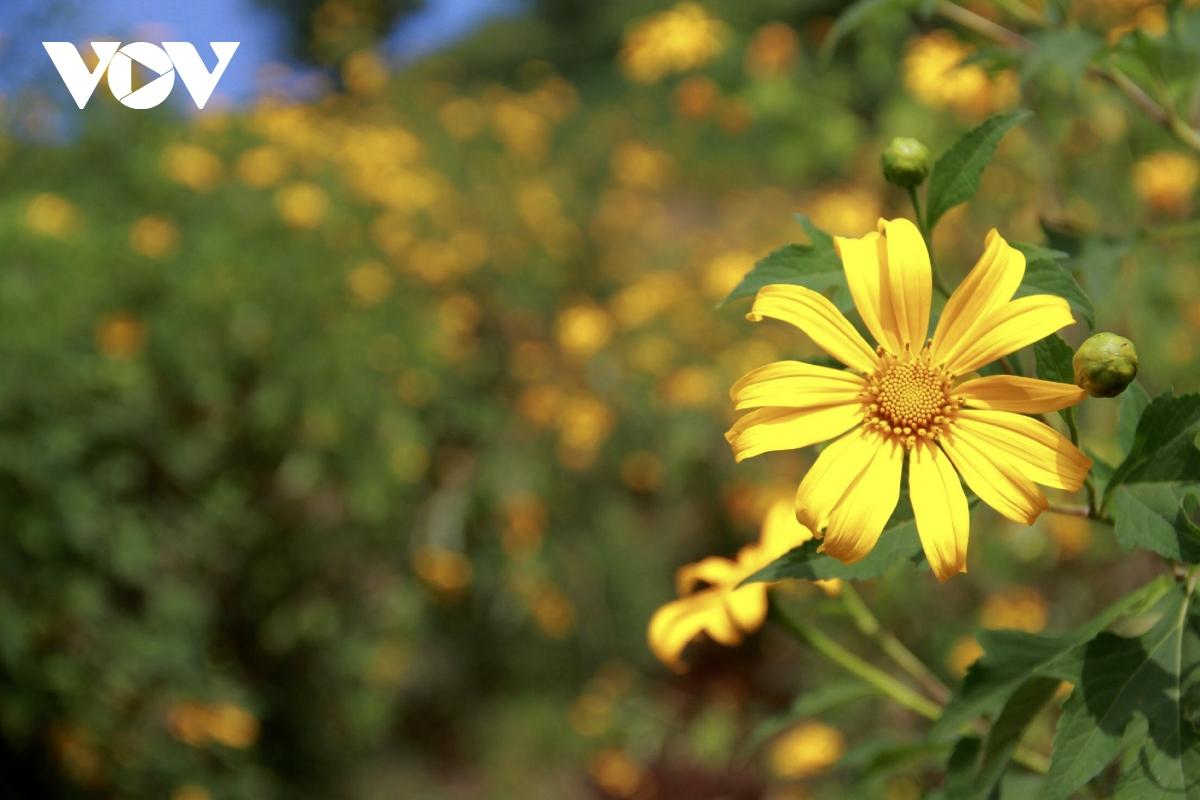 Vào dịp cuối năm, hoa dã quỳ trên núi nở vàng rực, xen lẫn những cánh đồng, tạo nên một bức tranh thiên nhiên vô cùng tươi đẹp,