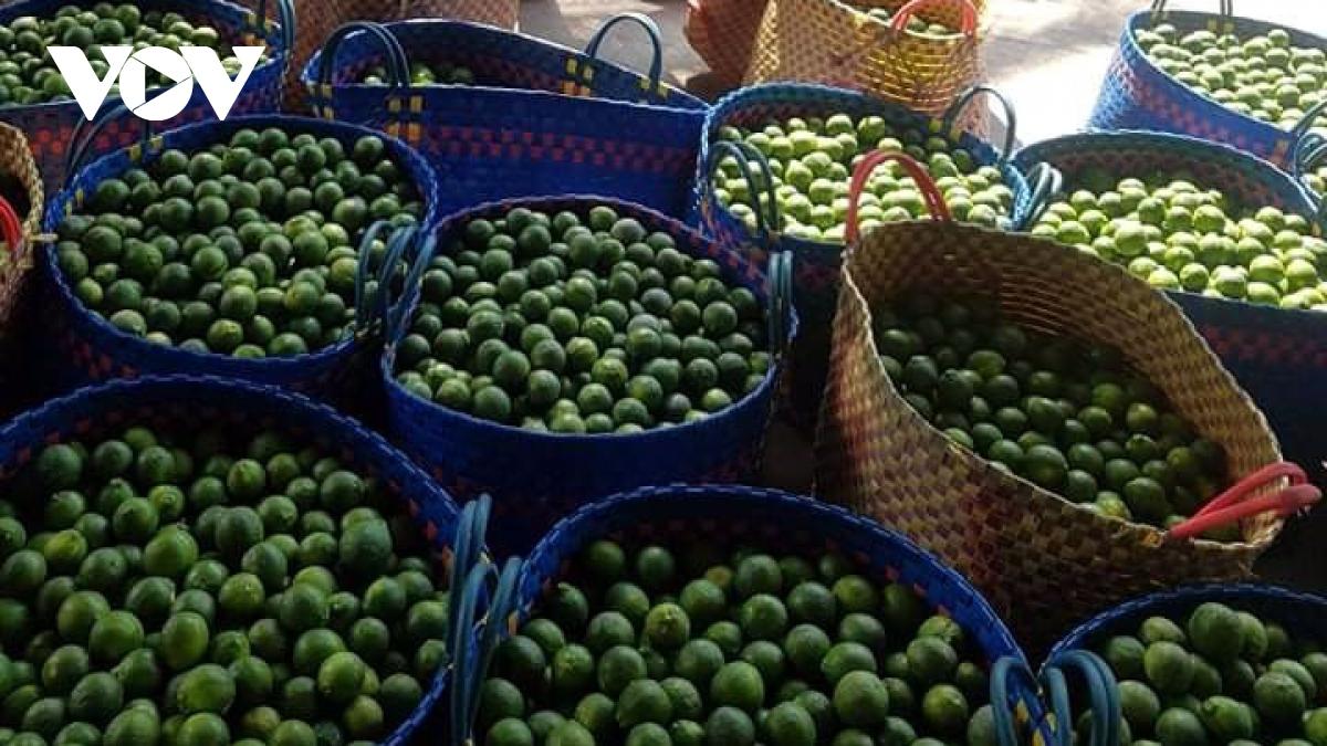 Giá chanh tại huyện Cái Bè chỉ từ 1.000 - 2.000 đồng/kg.