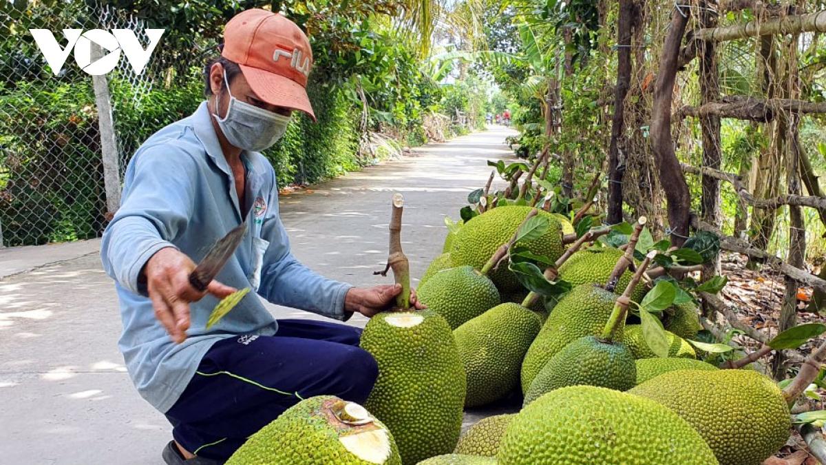 Nhà vườn huyện Cai Lậy, tỉnh Tiền Giang thua hoạch vườn mít rất phấn khởi vì giá cao.