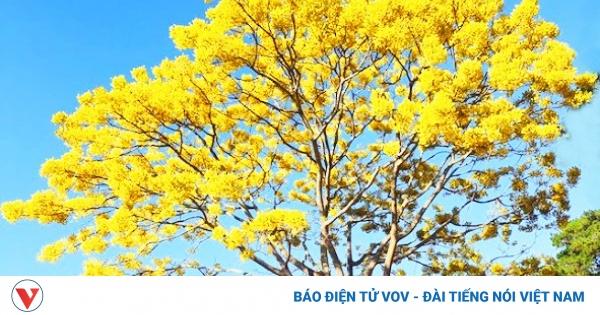 Ngẩn ngơ ngắm phượng vàng 'tỏa nắng' trên cao nguyên Lâm Đồng | VOV.VN