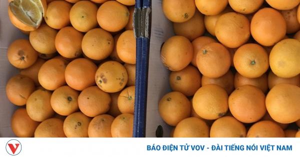 Sự thật về cam Úc siêu rẻ bán đầy vỉa hè Hà Nội   VOV.VN